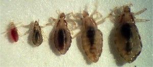 If you manage to find a louse, it may be in any of these stages. (Pic from here).