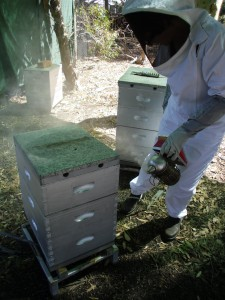 Smoking out the hives in preparation for removing the frames.