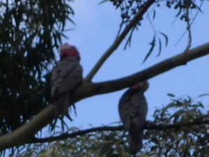These guys were just hanging out in the front yard. Pink & Greys, in case my zoom-work has obscured that usually obvious bit.