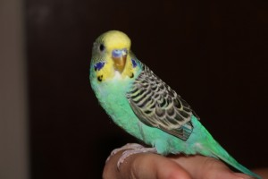 A Budgie! Who kindly requests never to be involved in any budgie smuggling.
