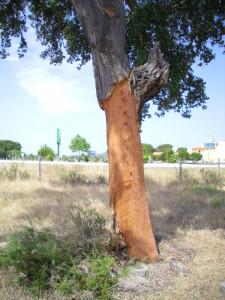 cork tree harvested bark Portugal