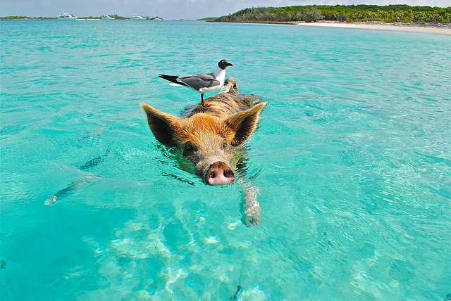 pig swimming with seagull on back: longshot attempt at give/teach to fish metaphor