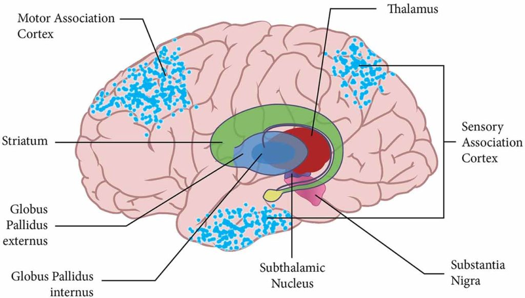 diagram of brain with some parts labelled